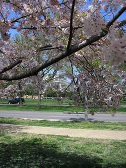 Dc_cherry_blossom