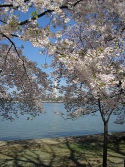 Dc_cherry_blossom2